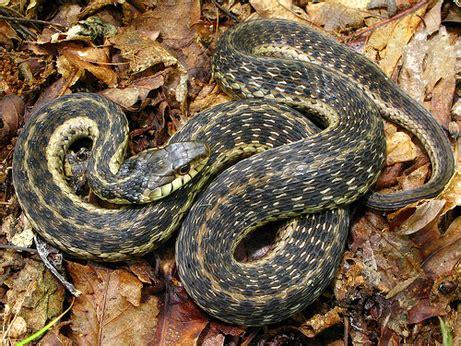 Garden Snake Florida by Garter Snake Florida Eco Travel Guide