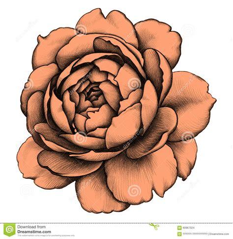 rose pencil drawing stock illustration image of fashion
