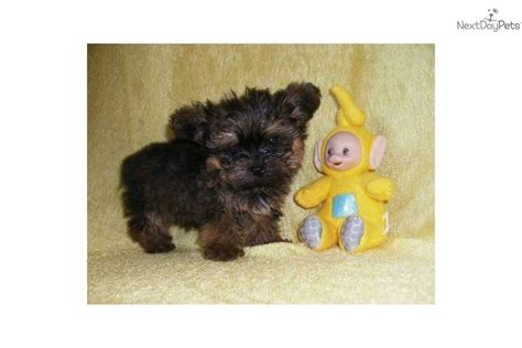 yorkie poo puppies for sale in oklahoma yorkiepoo yorkie poo puppy for sale near oklahoma city oklahoma 847ea47f 98c1