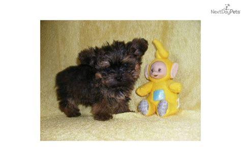 yorkie puppies oklahoma city yorkiepoo yorkie poo puppy for sale near oklahoma city oklahoma 847ea47f 98c1