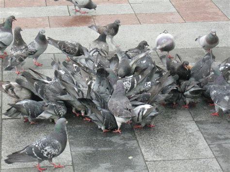 file rock pigeon eating swarm jpg wikimedia commons