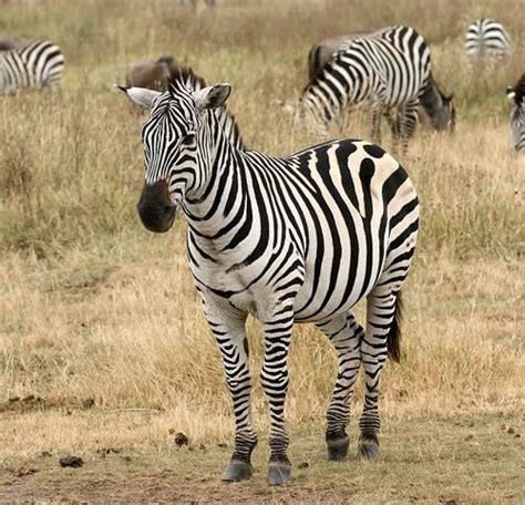 zebra without stripes real