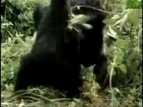 gorilla  leopard youtube