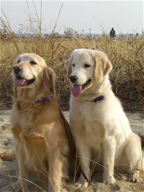 labrador golden retriever difference perros labradores golden retriever cachorros the knownledge