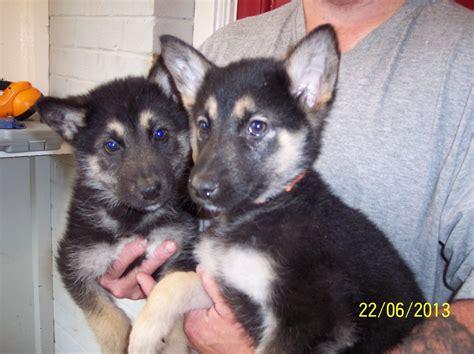 alaskan shepherd puppies alaskan shepherd puppies 10 weeks newbury berkshire pets4homes