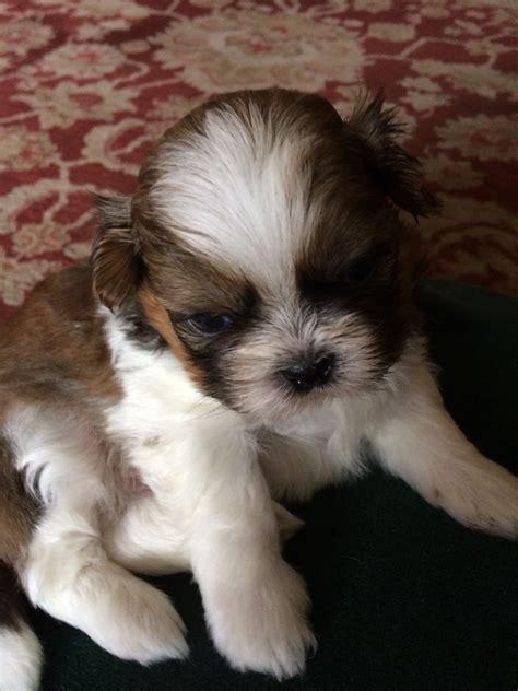 shih tzu puppies for sale in durham now soldadorable shih tzu puppy darlington county