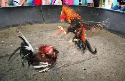 gallero soy videos de gallos de pelea en vivo fotos de gallos de pelea fotos gallos de pelea tattoo design bild