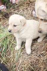 lab puppies for sale in washington view ad labrador retriever puppy for sale washington seattle usa