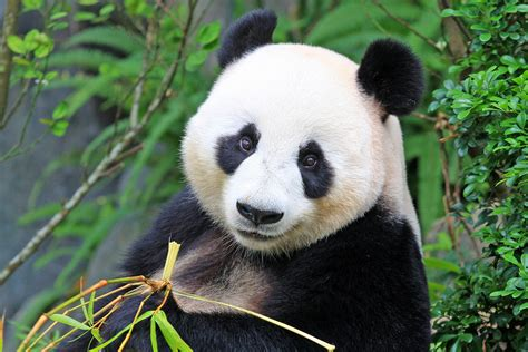 panda bear panda bear panda bears black and white fur is used for both communication and camouflage earth com