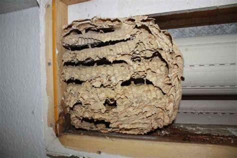 Bienen Rolladenkasten Vertreiben by Hornissen Im Dach Im Rolladen Oder In D 228 Mmschichten