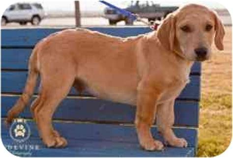 golden retriever basset hound clayne adopted puppy kennewick wa golden retriever basset hound mix
