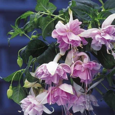 giant double trailing fuchsia plants buy plug plants