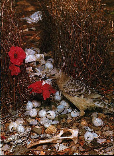 17 best images about believe the unbelievable bower bird on pinterest aluminum cans just