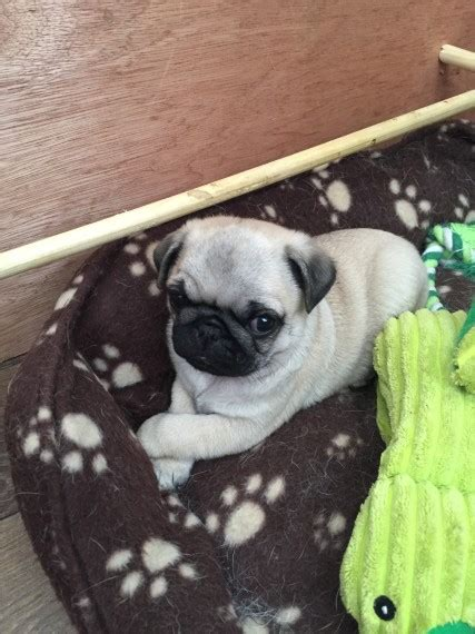 pugs for sale liverpool pug puppy for sale 1000 ono liverpool merseyside pets4homes