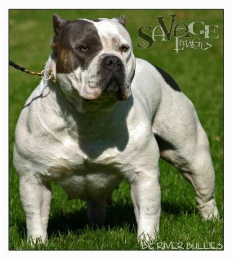 Why Do Pitbulls Shed by 10 Best Images About American Bully Pit Bulls On American Bullies Puppys And Pit Bull