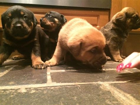 ridgeback rottweiler ridgeback x rottweiler puppies for sale stoke on trent staffordshire pets4homes