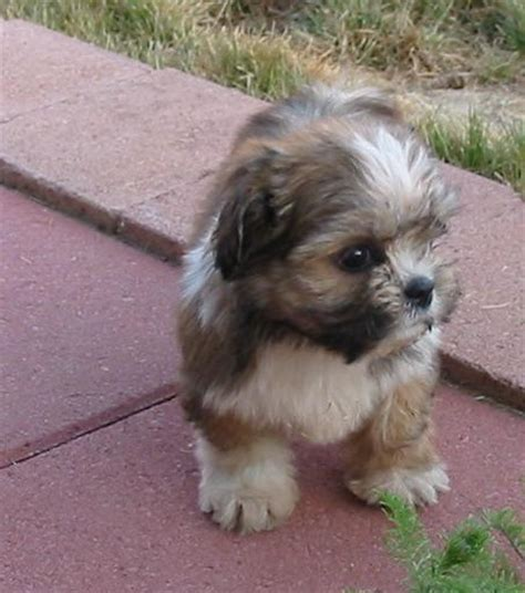 lhasa apso and yorkie mix yorkie apso mix of terrier and lhasa apso