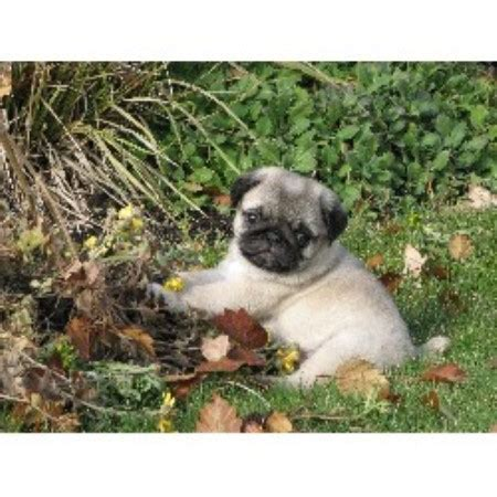 canadian pug breeders hyclass pug breeder in summerland columbia