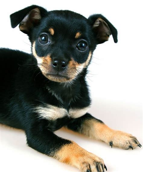 miniature puppy chihuahua min pin mix pictures breeds picture