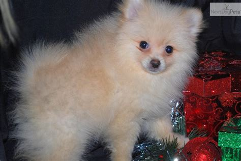 pomeranian puppies like boo for sale pomeranian puppy for sale near sioux falls se sd south dakota ba9150dc 72a1