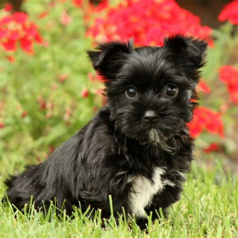 yorkie puppies for sale in ny yorkie poo puppies for sale in de md ny nj philly dc and baltimore breeds picture
