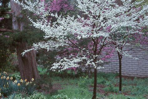 Flowering Shrubs Texas - white redbud oregon state univ landscape plants