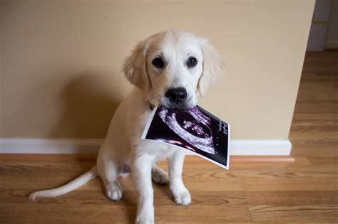 puppy announcement the ate their sonogram photo huffpost
