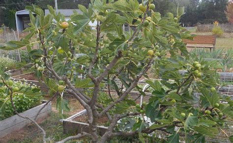 Fig Sw 52634 09 growing greener in the pacific northwest figs progress report 9 13 15