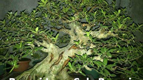 Bakalan Bonsai Loa bakalan bonsai loa ficus racemosa suka bonsai