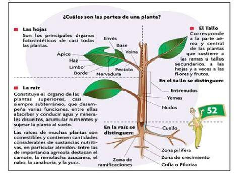 olguchiland las plantas ii maloka clasificacion de las plantas y sus partes