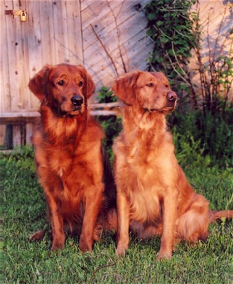 mahogany golden retriever puppies zomarick golden retrievers rustiques zomarick