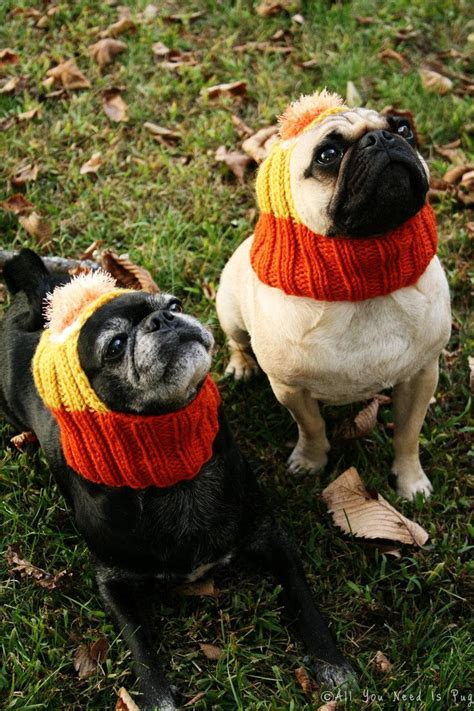 pug costume for 17 best ideas about pugs in costume on black
