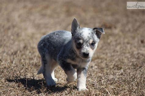 blue heeler puppies for sale in michigan australian cattle blue heeler puppy for sale near grand rapids michigan