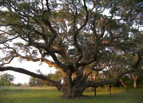 Tree Tx Your 350yr Oak Was Here S The 400 500yr