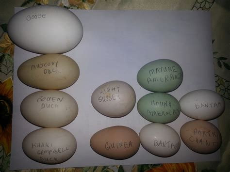 egg colors rouen duck egg color