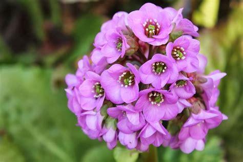 fiori di san giuseppe fiore di san giuseppe piante da giardino
