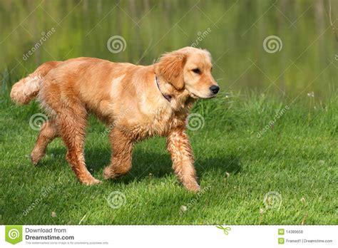 golden retriever walking golden retriever royalty free stock photos image 14389658