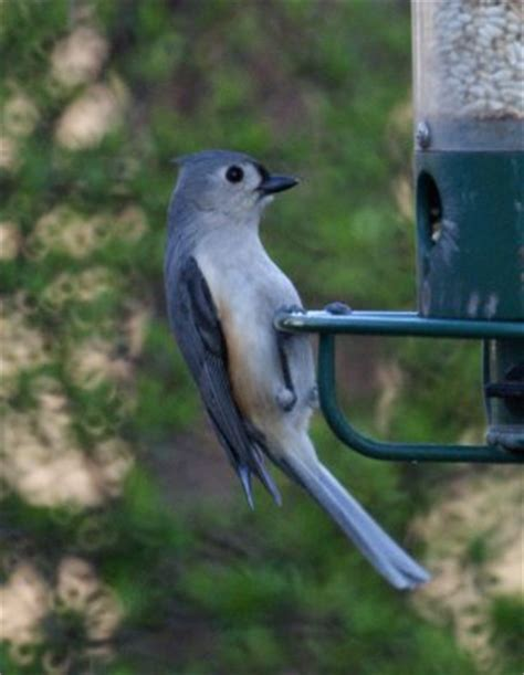 common backyard birds in new jersey in the spring new