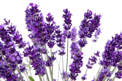 lavender flower pictures savingourboys info
