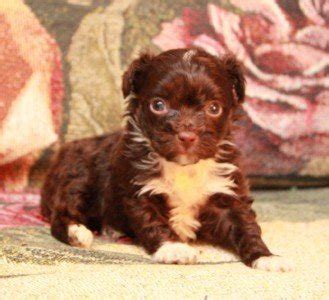 yorkie dew claw teacup yorkie puppies and chihuahua puppies michigan by sissy j s poochies