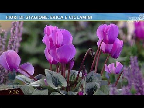 fiori di erica fiori di stagione erica e ciclamini