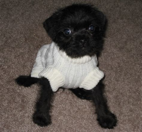 pug poodle mix pug and poodle pug a poo pug mixed breeds poodles and pug
