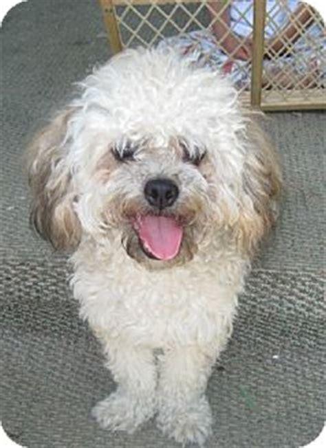 shih tzu and miniature poodle mix shih tzu poodle mix teddy pupdog puppy breeds picture