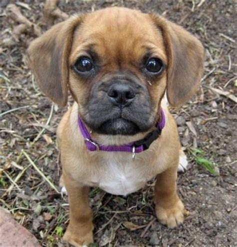 pug weiner mix dachshund pug mix puppies quotes