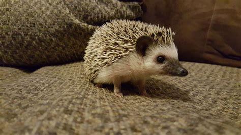 Heat L For Hedgehog 5 common hedgehog diseases