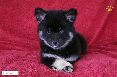 pomsky puppies for sale in california 201 best images about adorable designer puppies for sale on