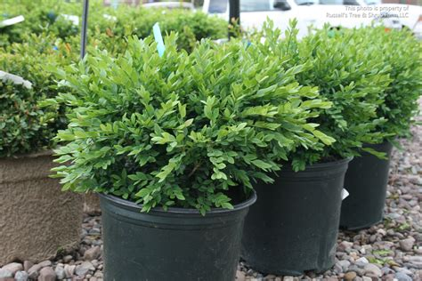 Boxwood Planters by S Photo Gallery Plants 187 Shrubs Evergreen