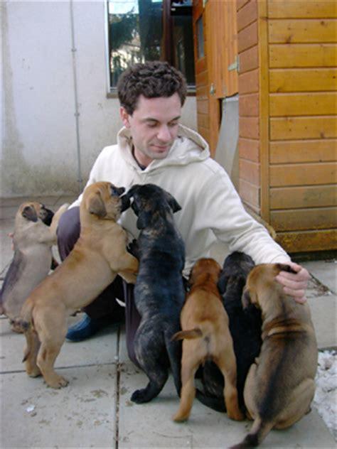 bullmastiff puppies for sale ny bullmastiff puppies for sale allen new york ny 208117