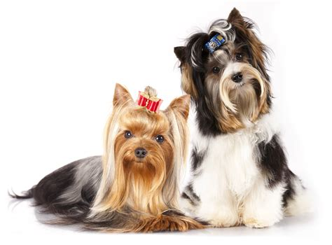 what of yorkies are there terrier grooming everything you need to diy grooming help