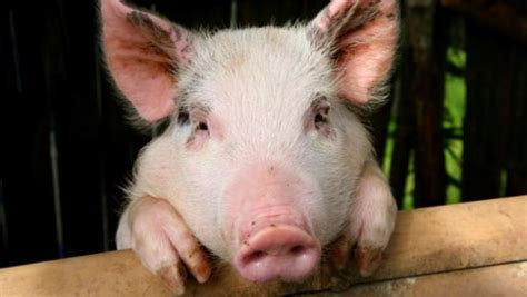 new year pig facts amazing facts about pigs onekindplanet animal education